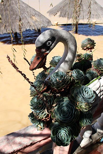 Swan Bolivia