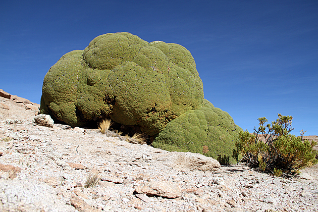 Weird Greeen Desert Plant