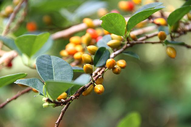 Coca Berries