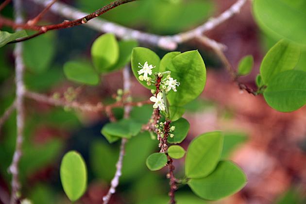 Coca Blossom