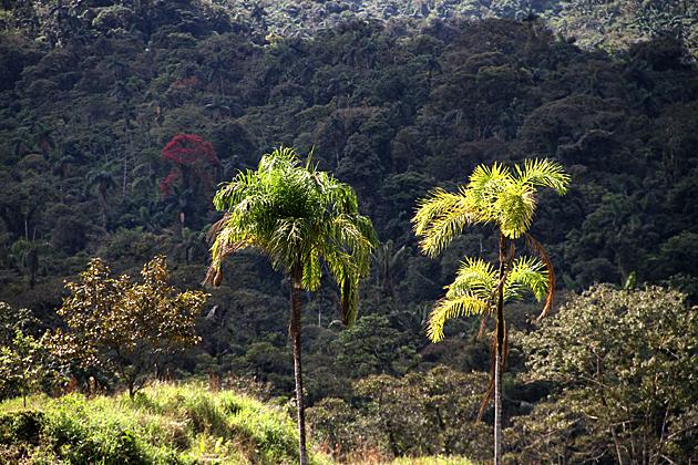 Glory Palms