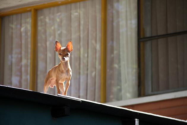 Cochabamba Dog