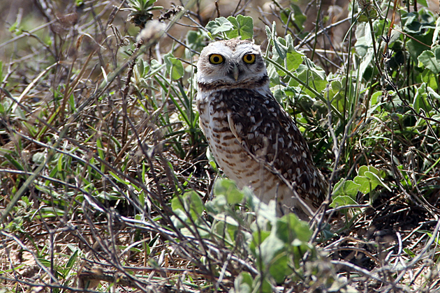 Bolivian Owl