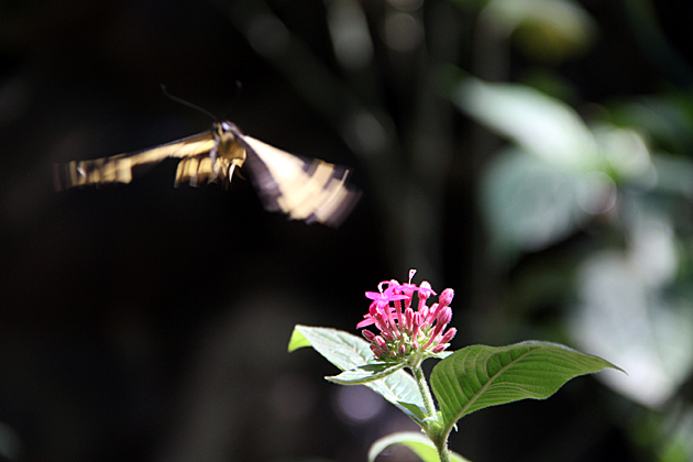 Flying Butterfly