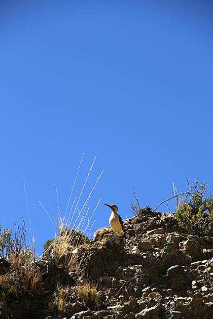 Bolivian Bird