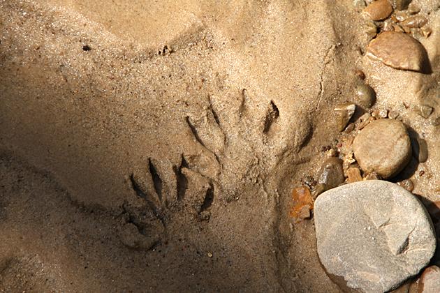 Aligator Tracks