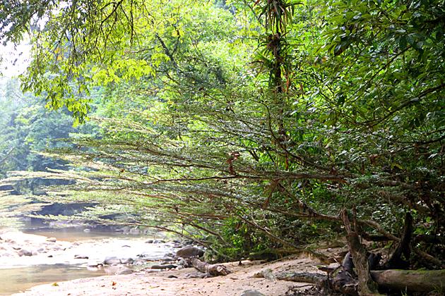 Jungle River Tree