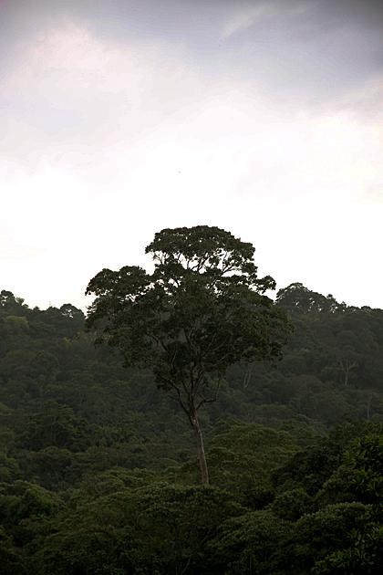 Jungle Treet