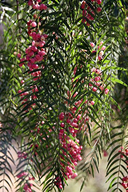 Bolivian Berries