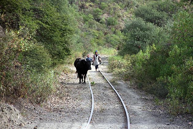 Bull Train