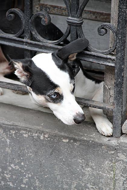 Dog San Telmo