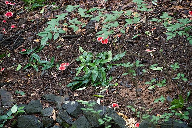 Red Mushroom Korea