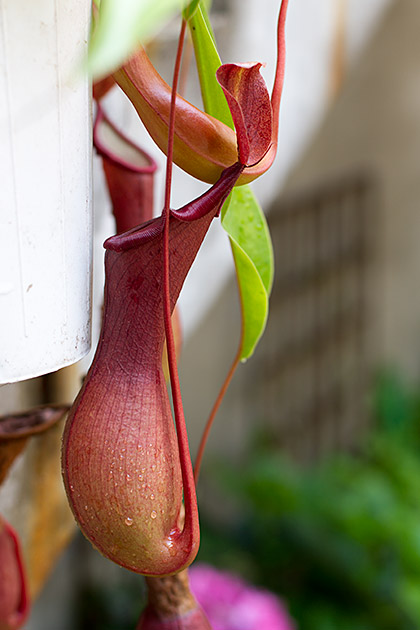 Meat Eating Plant