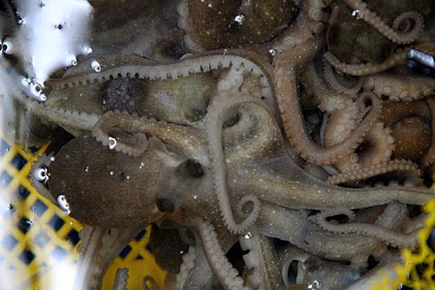 Raw Octopus