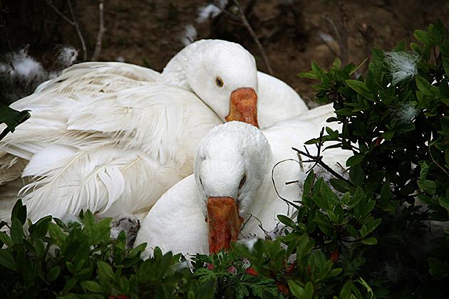 Korean Swans