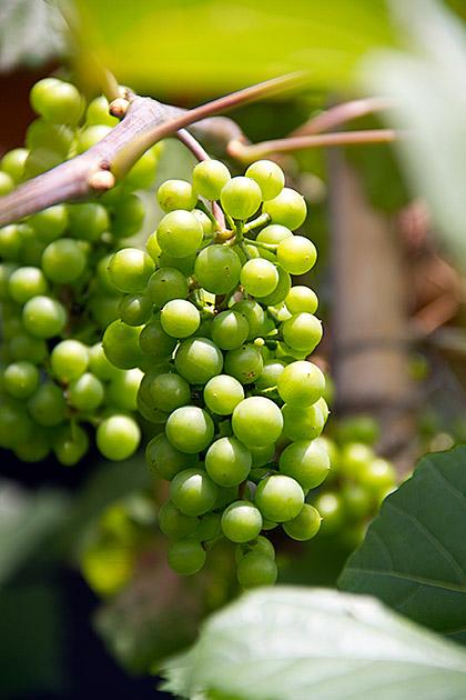 Korean Wine