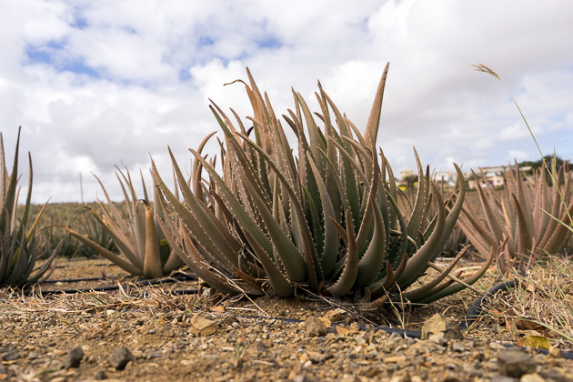 Aloe Vera Farm Curacao