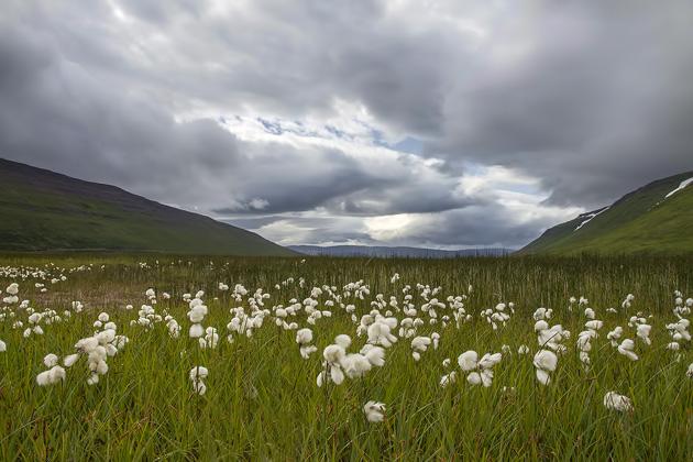 Iceland Cotton