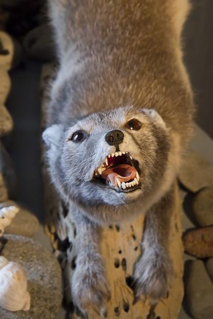 Stuffed Arctic Fox