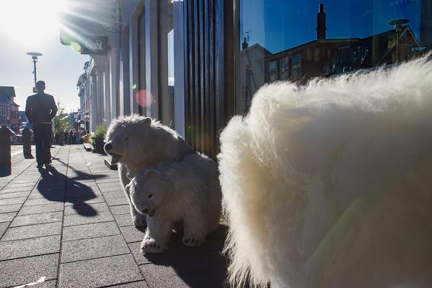 Polar Bear Iceland