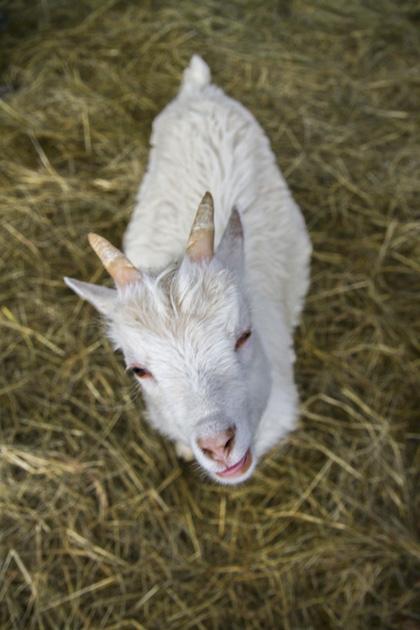 One Happy Goatt