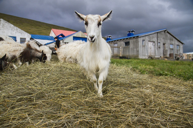 Iceland Goat Farm