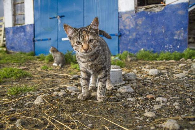 Iceland Cat