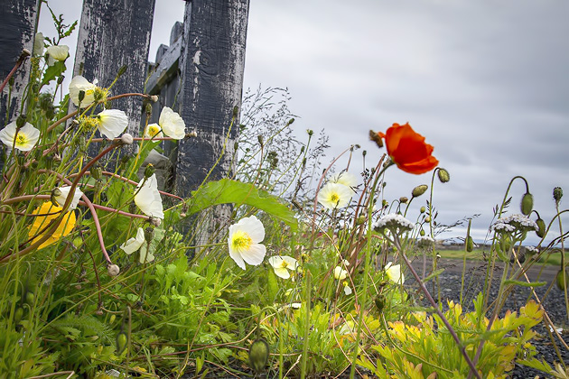 Flowers Hólmavík