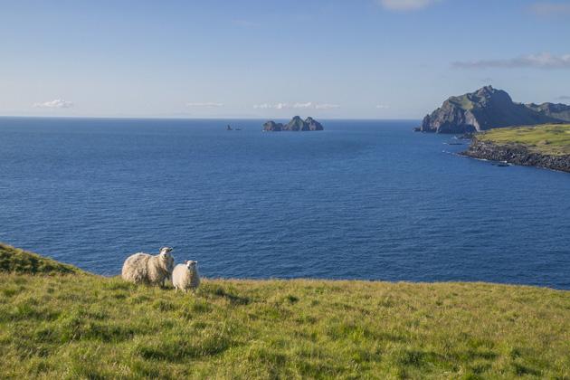 Sheep Heimaey