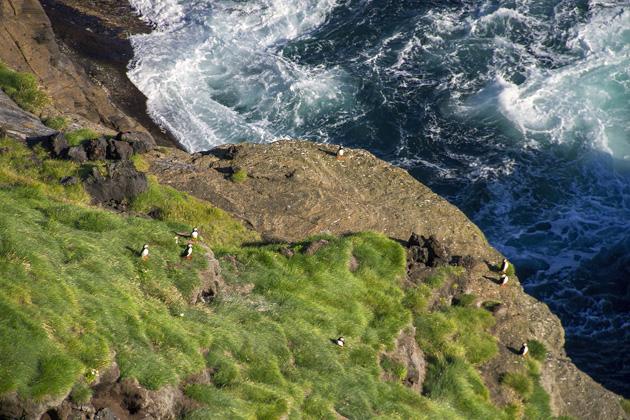 Puffins Westman Islands