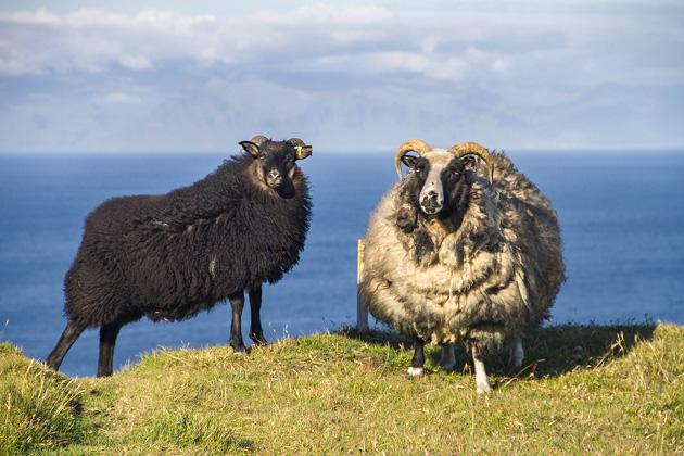 Sheep Blog