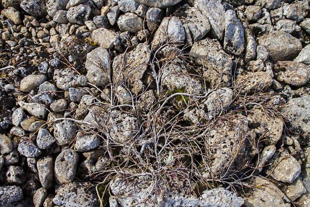 Rock Tree Iceland