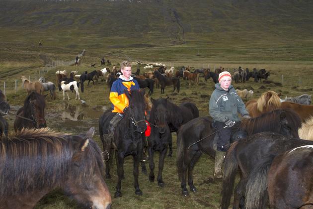 Herding Herses Iceland