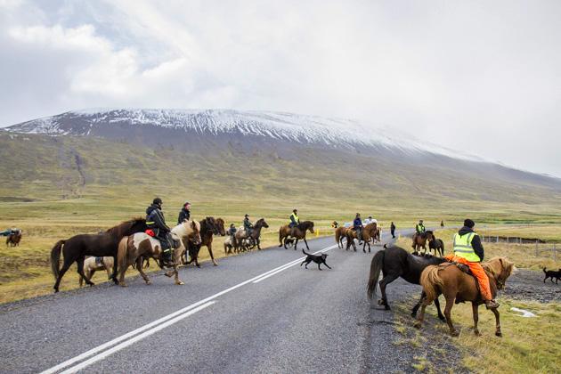 Playful Dogs Iceland