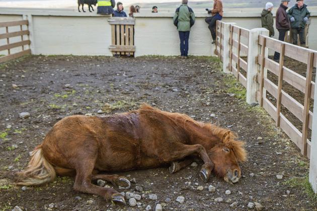 Sleeping Horse Iceland Ground