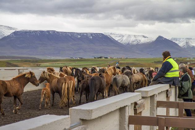 Horse Round Up Iceland