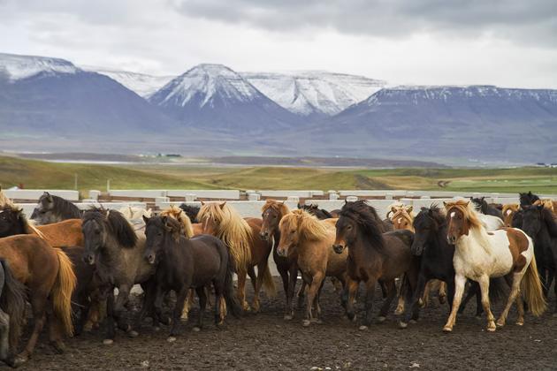 Pferde Sammeln Island