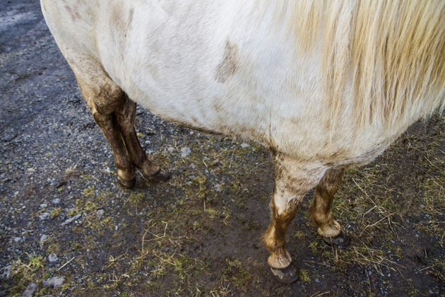 Icelandic Horse Fat Belly