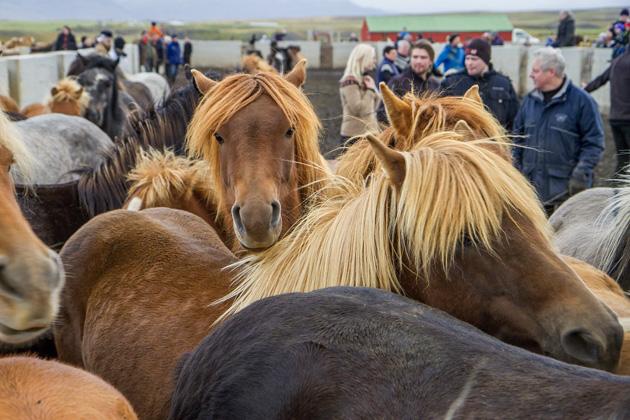 Cute Horses Iceland