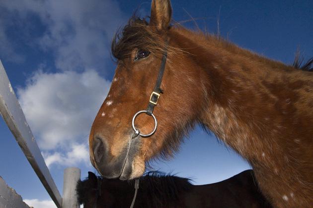 Icelandic Horse Portraits