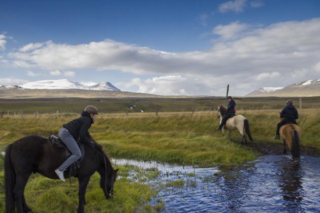 Horse Drinking Iceland