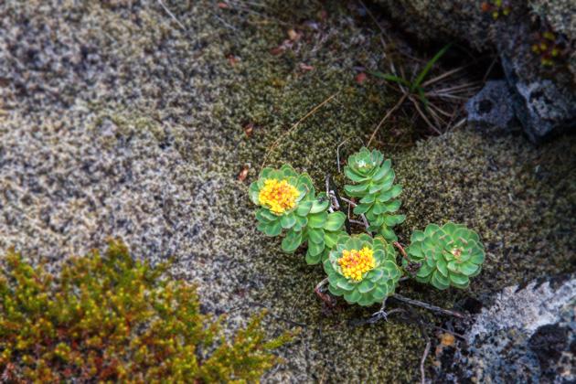 Lava Plant Iceland