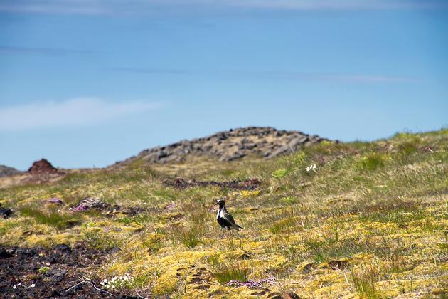 Birds Iceland
