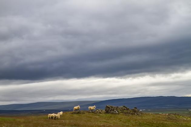 Varmaland Sheep