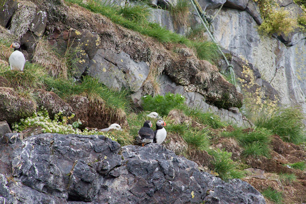 Puffin Tour Iceland