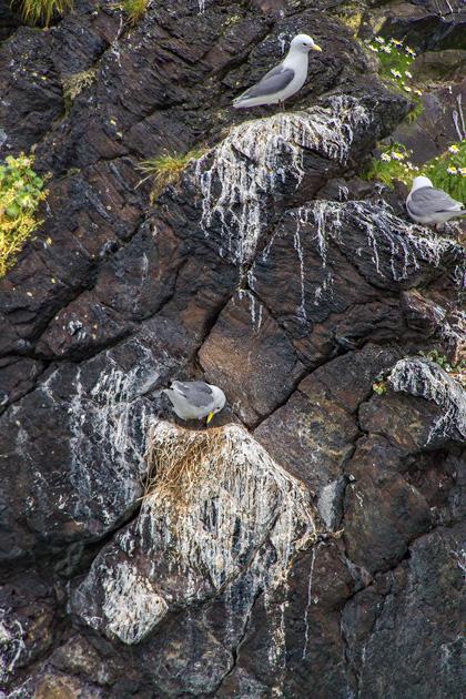 Nesting Birds Iceland