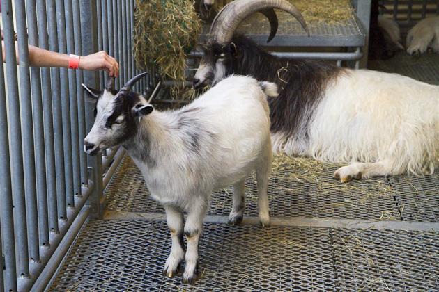 Goats Iceland