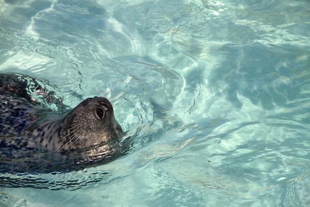 Seal Nose