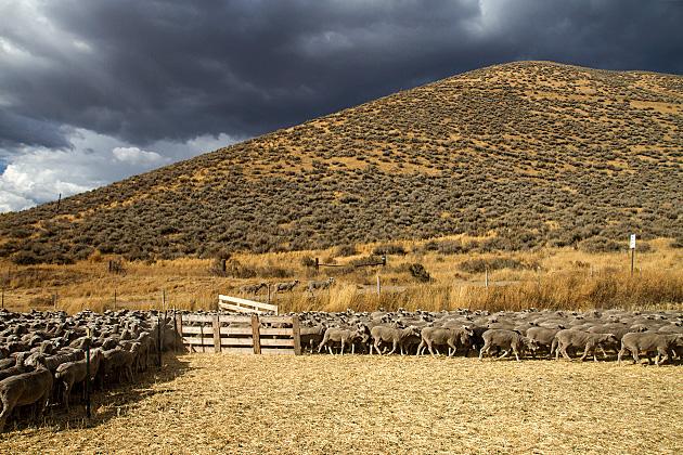 Grey-Sheep