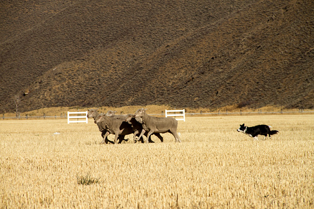 Trailing-Dogs
